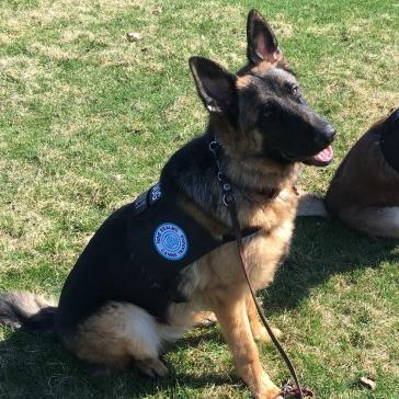 Pax Service Dog